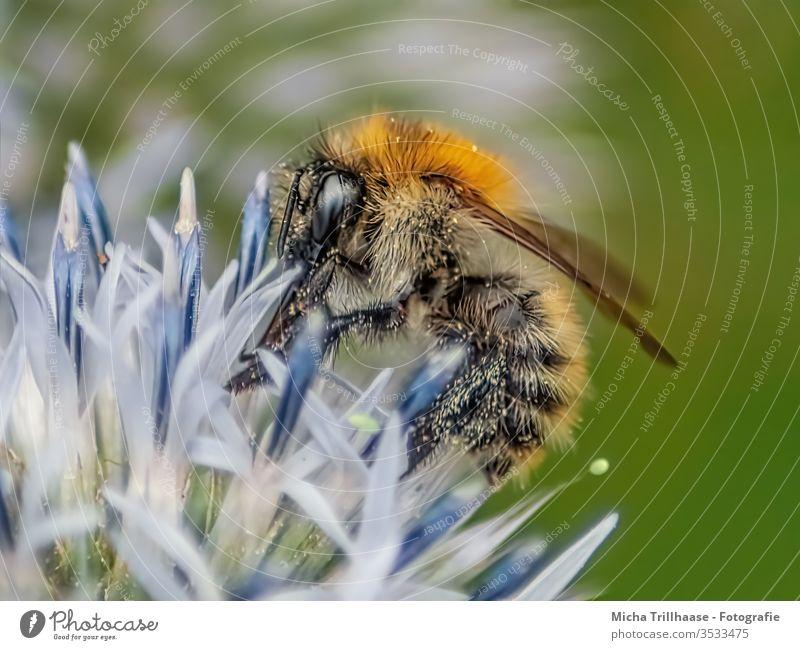 Biene auf einer Blüte Honigbiene Apis mellifera Kopf Auge Fühler Flügel Beine Härchen Blume Insekt bestäuben Bestäubung Nektar Pollen sammeln nützlich klein