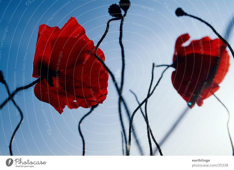 Rot wie der Mohn Blume rot Frühling Froschperspektive Nahaufnahme Blüte Gegenlicht Blauer Himmel blau verschnörkelt Kontrast Menschenleer