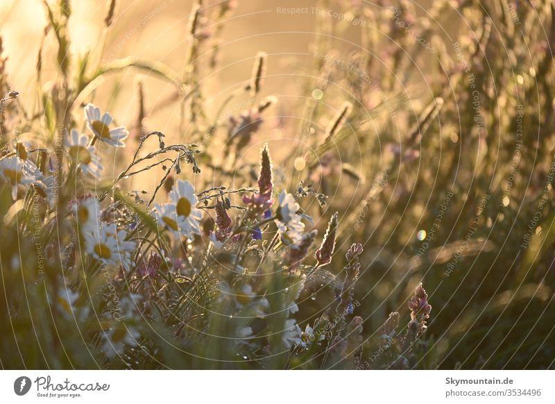 Blumen in romantischem Sonnenlicht Sonnelicht sonnenuntergang sonnenaufgang mageriten klee espersette lein salbei salvia gras wiese feld natur umwelt