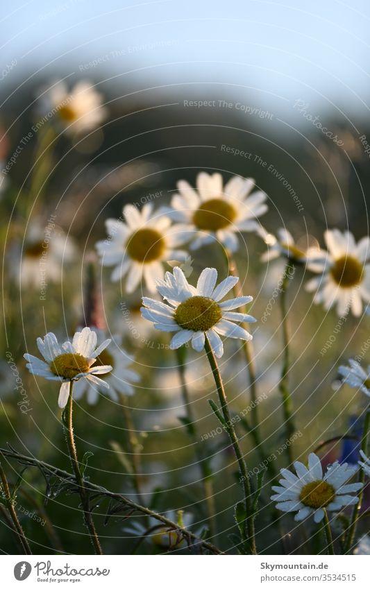 Frühsommerliche Mageriten blume mageriten blüten morgens stimmung weisse blumen garten pflanzen gäernernstaude