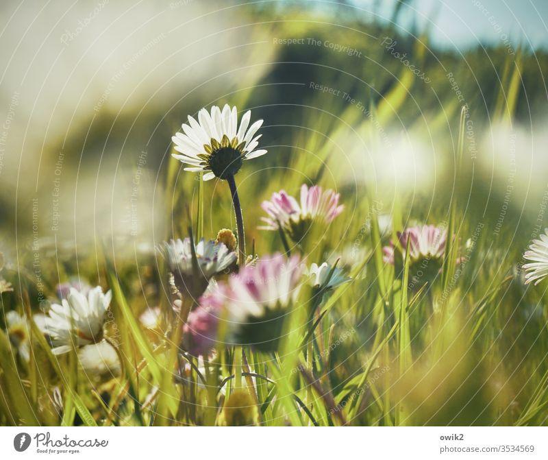 Kleine Margerite Gänseblümchen Wiese verschwommen klein nah unten Idylle blühen Blume Blüte Gras Grashalme Frühling grün Natur Pflanze Nahaufnahme weiß Garten