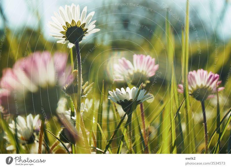 Monatsröserl Gänseblümchen Wiese Blumenwiese Blüten Idylle Halme Blümchen Frühling Gras grün Natur weiß Nahaufnahme Pflanze Farbfoto