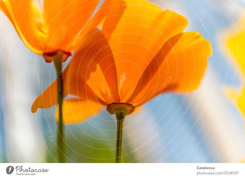 Ein Montag in orangener Stimmung Mohnblüte Blume Pflanze Blüte Blühend verblühend Frühling Garten Wiese Natur Wachstum Umwelt Orange Grün Blau