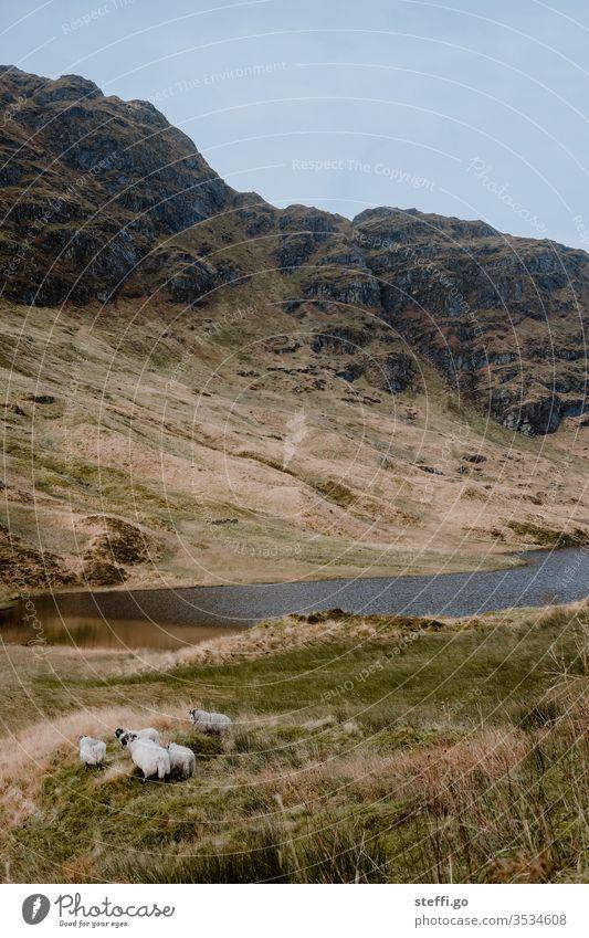 Schafe an einem See in den Highlands von Schottland Natur Landschaft Menschenleer Großbritannien Außenaufnahme Wolken Berge u. Gebirge Europa Wasser Farbfoto