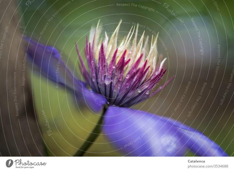 Die Blüte einer blauen Clematis  im Regen Flora Pflanze Kletterpflanze Blühend Blütenblatt Wassertropfen Regentropfen Schlechtes Wetter Blume nass