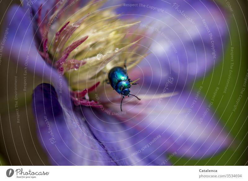 Der himmelblaue Blattkäfer krabbelt in der mit Wassertröpchen verzierten Clematisblüte . verblühend Makroaufnahme Schwache Tiefenschärfe Detailaufnahme Lila
