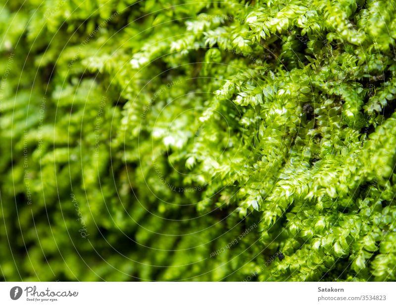 Frisches grünes Moos wächst im Regenwald Tau Natur frisch Makro Garten Wald Tropfen nass Algen üppig (Wuchs) Schönheit tropisch Saison im Freien Park Umwelt