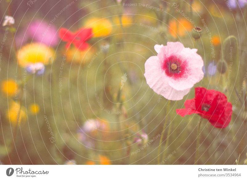 Bunte insektenfreundliche Wildblumenwiese mit Mohnblumen im Vordergrund Blumenwiese Wiesenblumen Insektenfreundlich Umwelt Natur Sommer natürlich grün rot weiß