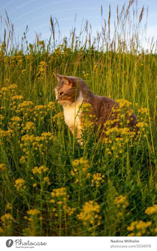 Katze in einer Blumenwiese Tier Haustier Schildpatt Hauskatze Beobachten Sitzen Entspannen Auf der lauer Wiese Grün Gelb Blüten Wildblumen Wildpflanze Hoch Gras