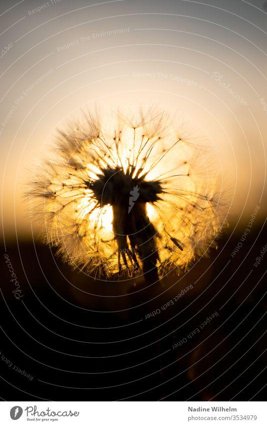 Pusteblume vor der untergehenden Sonne Nahaufnahme Makro Makroaufnahme Makrofotografie Pflanze vergänglich Vergänglichkeit neu alt Leben Entwicklung