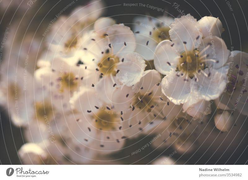 Weiße Apfelblüten Pflanze Natur Außenaufnahme Nahaufnahme Farbfoto Makroaufnahme Tag Detailaufnahme Schwache Tiefenschärfe natürlich frisch Wildpflanze