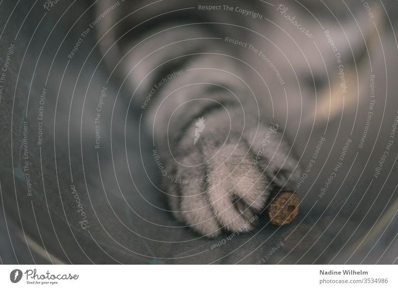 Pfotengriff nach dem Leckerli Britisch Kurzhaar Katze Tier Haustier Farbfoto niedlich Hauskatze Innenaufnahme Künstliches Licht Tierliebe Schwache Tiefenschärfe