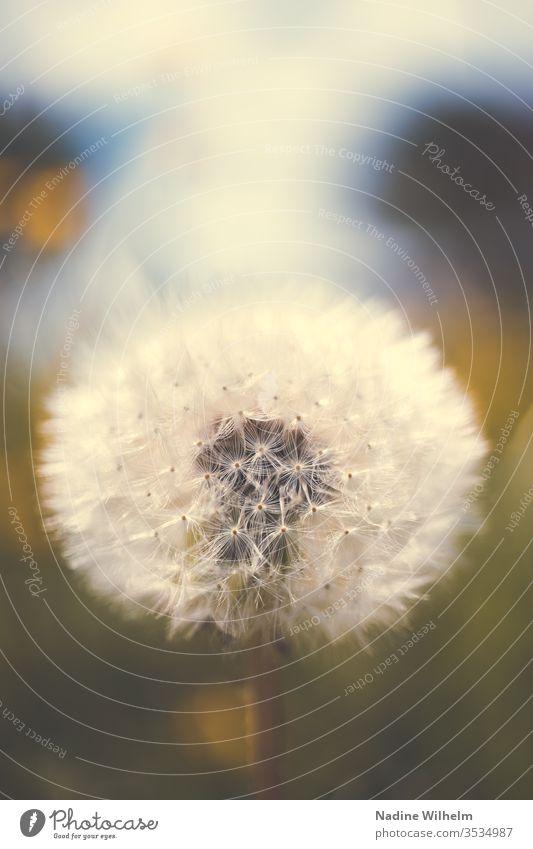 Nahaufnahme einer Pusteblume Makro Makroaufnahme Makrofotografie Pflanze vergänglich Vergänglichkeit neu alt Leben Entwicklung Detailaufnahme Natur