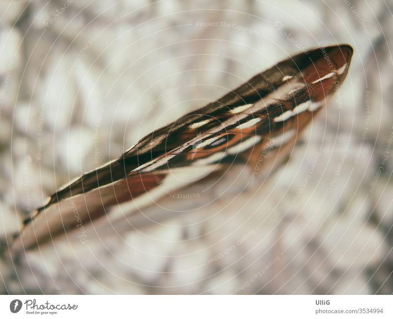 Großer Schillerfalter, Apatura iris. Schmetterling Falter Insekt Tier schillern bunt geschlossen Flügel Unschärfe farbig Natur Tierwelt Zoologie Biologie Umwelt