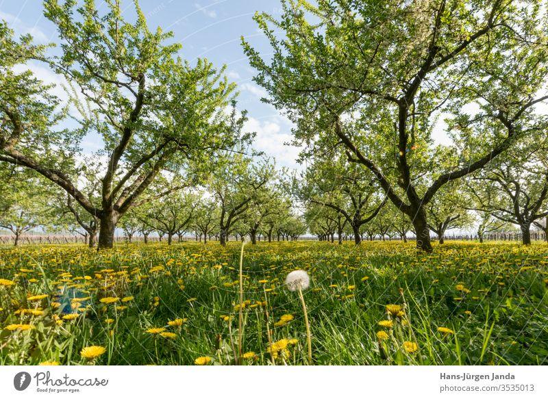Obstplantage in der untergehenden Sonne mit blühendem Löwenzahn mirabelle apfel löwenzahn sonnenuntergang blumen obst acker baum blätter wiese gras abend anbau