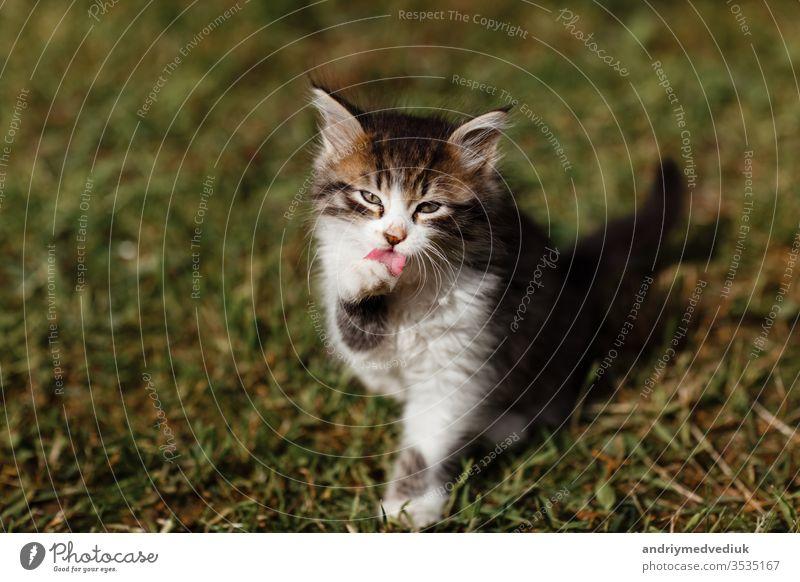 Kleine Kräuselung Kätzchen wäscht sein Gesicht auf dem Rasen im Garten. Frühlingssonne. selektiver Fokus Haustier wenig schön Katzenbaby heimisch niedlich jung