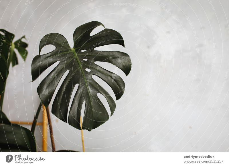 Großes grünes Blatt für Blumenarrangement. Blatt einer exotischen Dschungelpflanze. schöner Hintergrund mit Blättern. selektiver Fokus. Blumenhändler