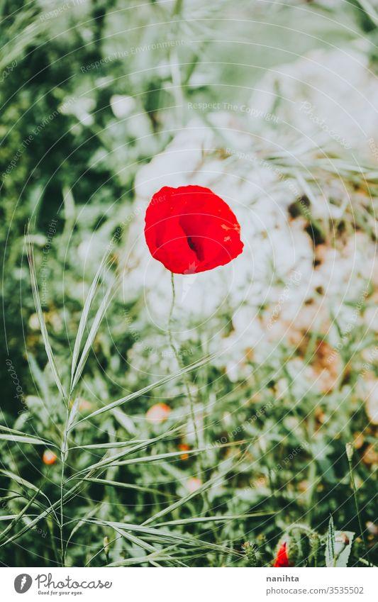 Wunderschöner roter Mohn blüht im Frühling intensiv Blume Blütezeit Blühend blühend wunderschön Hintergrund Saison saisonbedingt grün Farbe pulsierend