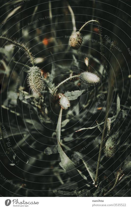 Schöne Nahaufnahme einer Mohnknospe Frühling Makro Natur Kokon Blütenknospen Textur Hintergrund abschließen grün dunkel verdunkeln Dunkelheit Detailaufnahme