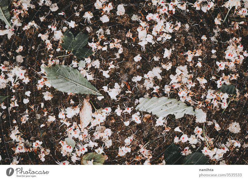 Wunderschöner Hintergrund mit weißen Baumblüten Frühling Blumen filigran zerbrechlich dunkel Blatt Blätter Tapete walldrop Natur natürlich Blütezeit Blühend
