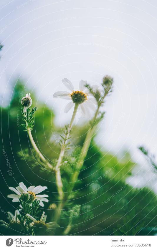 Schöner Gänseblümchen-Hintergrund im Frühling Margeriten Blumen abstratc schön grün saisonbedingt frisch Blütezeit blühend lieblich wenig Bokeh wild frei