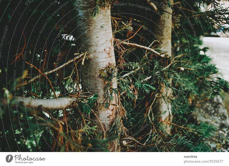 Wunderschöner Herbsthintergrund mit immergrünen Blättern Natur Immergrün fallen Hintergrund Tanne wild frisch Baum Wald Detailaufnahme Makro abschließen