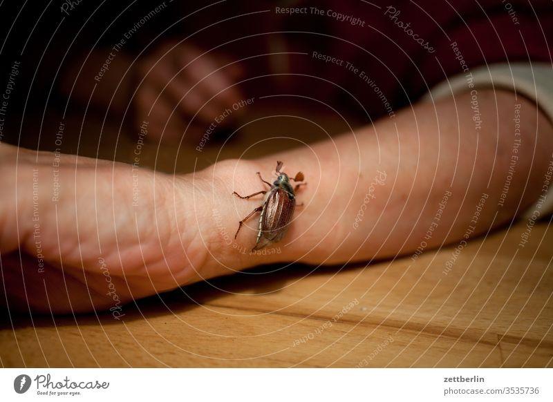 Maikäfer maikäfer melolontha insekt sommer dunkel arm hand krabbeln garten kriechen abend nacht