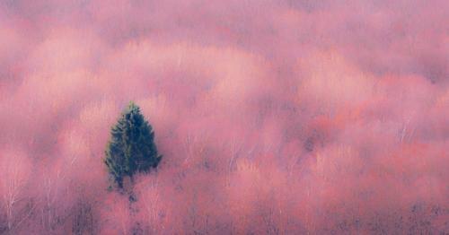 Der einzelne Nadelbaum im rosa Wald abstrakt Kunst Hintergrund schön Schönheit in der Natur Unschärfe verschwommen kalte Temperatur Farbe farbig farbenfroh