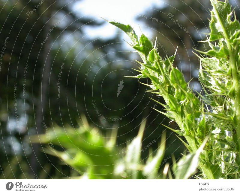 stachelig Distel grün Wald Planze Stachel Natur Makroaufnahme