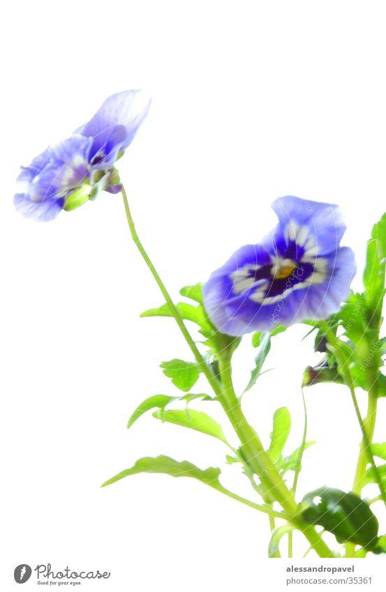 Blume blau manuelle Aufnahme