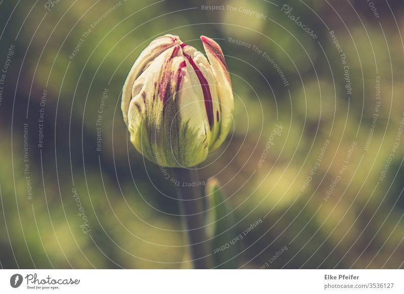 Tulpe Tulpenblüte Blüte Blume Frühling