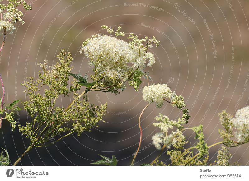 Mädesüß blüht cremeweiß und duftet Heilpflanze Duftpflanze blühen Maedesuess dekorativ heimisch Nutzpflanze Wiesenblume Blütezeit heimische Wildpflanzen anders