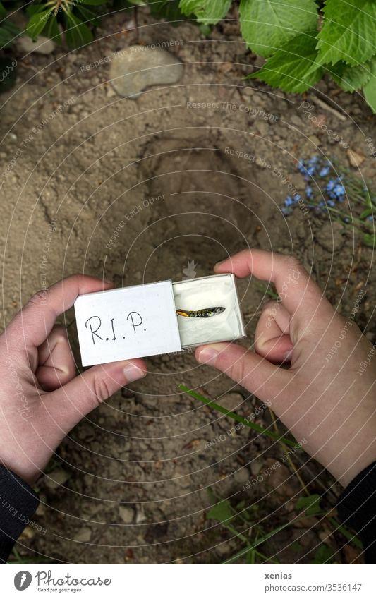 Günther, ein Endler Guppy, der fröhlich im Aquarium lebte, ist tot. Seine Beerdigung findet an der Hecke statt. Wohl gebettet liegt der Minifisch im Sarg, eine Streichholzschachtel, die von jungen Händen über das ausgehobene Grab gehalten wird. R.I.P.