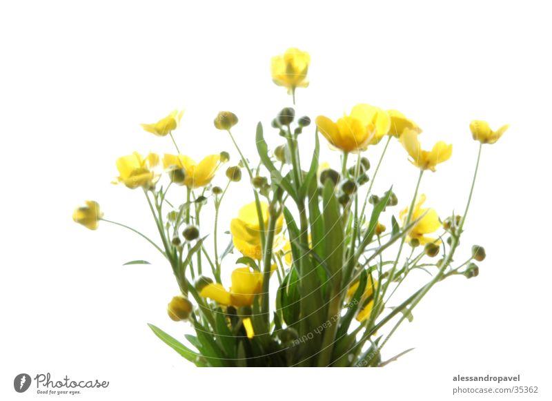 Blume gelb Frühlingsblume grün-gelb