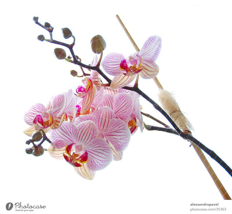 Blume rosa Orchidee manuelle Aufhahme