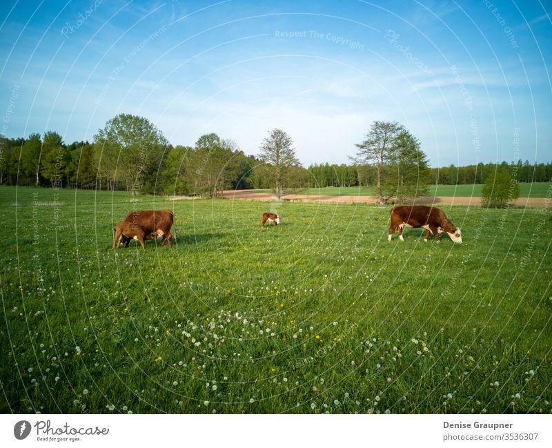 Milchkühe mit Kälbern in Deutschland Wade Viehbestand Molkerei Ackerbau Weide Kuh Bauernhof bovin Tier Rind Landwirtschaft Feld Gras grün ländlich Ackerland