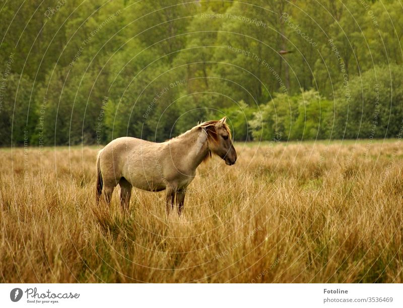 Ein Konik Wildpferd steht im hohen Gras im Naturschutzgebiet Ilkerbruch Pferd Tier Außenaufnahme 1 Farbfoto Tag Menschenleer Nutztier braun Umwelt Wiese