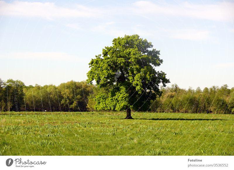 Ein wunderschöner, freistehender Baum auf einer grünen Wiese im Naturschutzgebiet Ilkerbruch Himmel Wolken blau Gras Landschaft Tag Farbfoto Außenaufnahme
