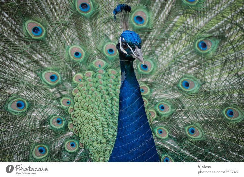 V Tiergesicht Zoo Pfau Pfauenfeder Fasanenartiger Brunft ästhetisch Kitsch blau Frühlingsgefühle Liebe Federkrone irisierenden Augen Farbfoto Tierporträt