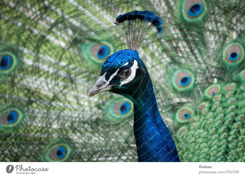 ...ich mach blau Vogel Brunft ästhetisch exotisch Pfau Feder Pfauenfeder Pfauenauge Pfauenhahn Kopfschmuck Farbfoto Tierporträt