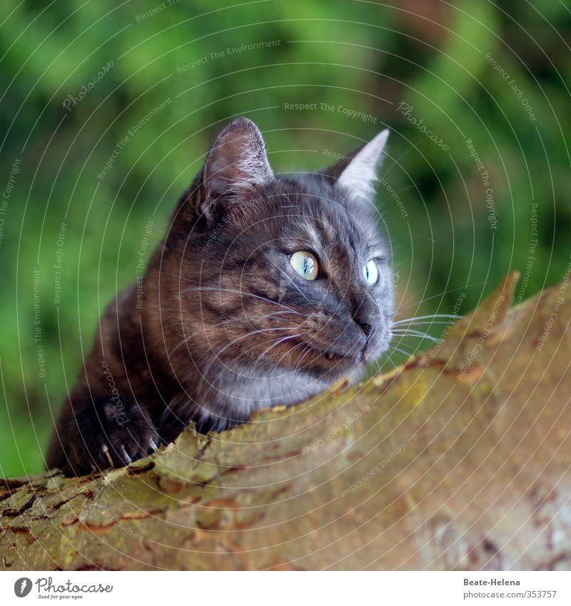 manchmal ist es unerlässlich, Krallen zu zeigen Katze Natur grün Tier grau braun Kraft Zufriedenheit elegant authentisch leuchten Abenteuer genießen Fitness