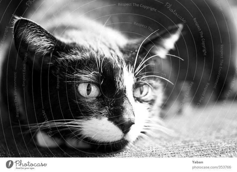 Scratching motherf***** Tier Haustier Katze Tiergesicht 1 Aggression feminin wild schwarz weiß Tierliebe gereizt Schwarzweißfoto Innenaufnahme