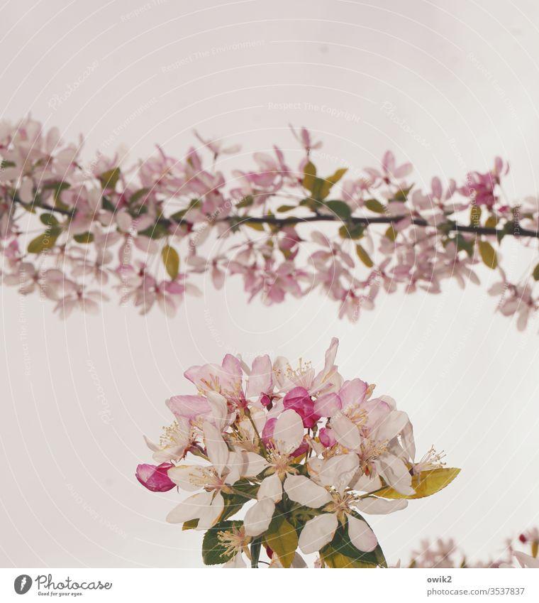 Girlande Baumblüte Blüten blühen Zweig klein nah Idylle Frühling Natur Pflanze Farbfoto Außenaufnahme Menschenleer Nahaufnahme Ast weiß
