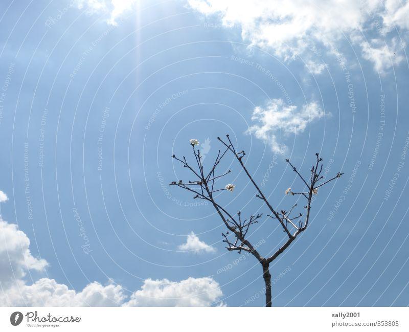Ein Hauch von Frühling... Natur Pflanze Himmel Wolken Sonne Sonnenlicht Schönes Wetter Baum Obstbaum Blühend leuchten ästhetisch hell klein oben blau