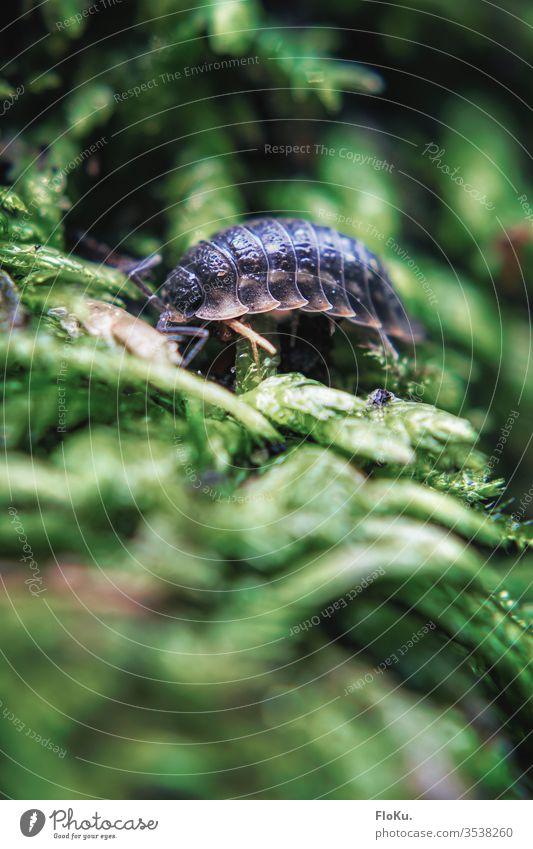 Nahaufnahme einer Kellerassel im Garten insekt kellerassel kellerasseln klein tier krabbeln nahaufnahme makroaufnahme garten moos natur pflanze Farbfoto