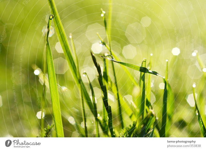 Morgentau Natur Wasser Wassertropfen Sommer Gras Halm Wiese frisch nass grün Tau Sonnenaufgang Farbfoto Außenaufnahme Nahaufnahme Makroaufnahme Sonnenlicht