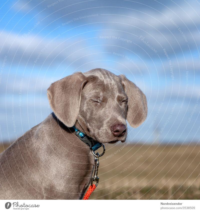 Müde weimaraner welpe hund haustier braun hübsch jagdhund portrait reinrassig sprache gras jung freudig säugetier puppy dog klein halsband draußen outdoor