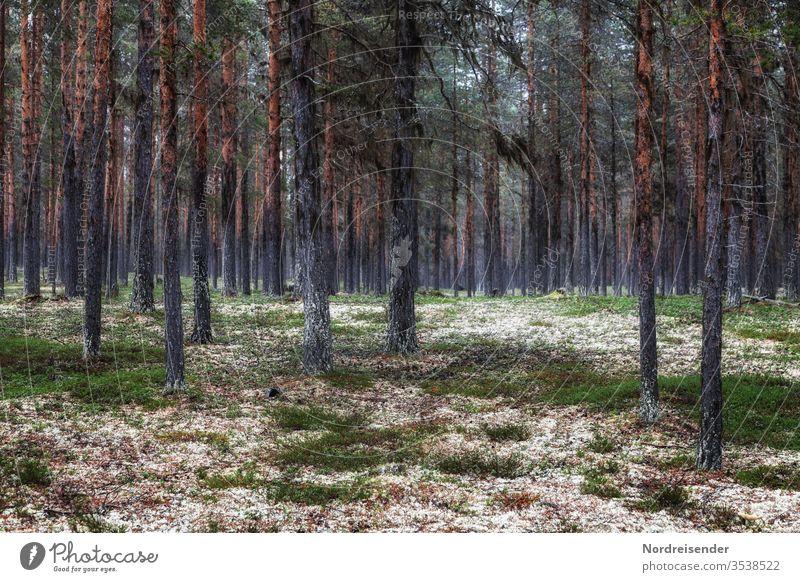 Schwedische Wälder Menschenleer Außenaufnahme Schweden Skandinavien Farbfoto Waldboden Baum Landschaft Pflanze Sommer Natur Forstwirtschaft Landwirtschaft Moos