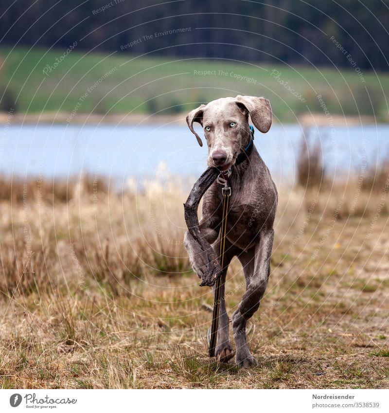 Weimaraner Welpe spielt auf einer Wiese am See weimaraner welpe hund haustier junghund wasser hübsch jagdhund portrait reinrassig wald gras freudig säugetier