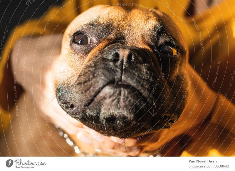 Lustige französische Bulldogge. Nahaufnahme Verformt Gesicht braun Französisch lustig Porträt Welpe Glück Blick Spaß Lifestyle Hündchen menschlich Hand Besitzer